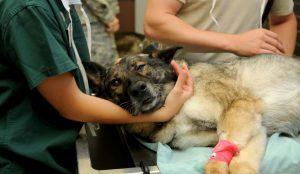 Assistenza veterenario a cane ferito