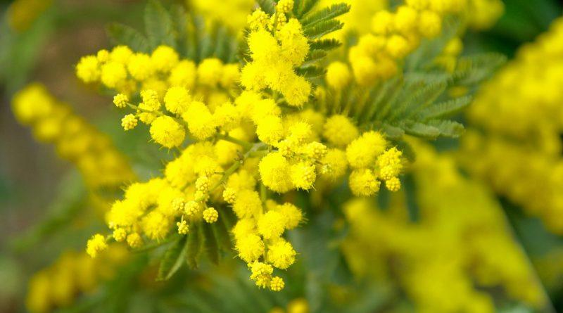 Giornata della donna: le mimose e Teresa Mattei